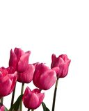 Tulipes sur le blanc Photo stock