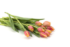 Tulipes sur le fond blanc Photographie stock
