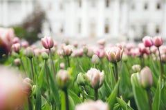 Tulipes sur le fond d'un bâtiment Photos libres de droits