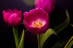 Tulipes sur le noir Images libres de droits