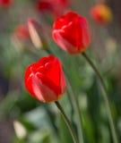 Tulipes sur un fond des feuilles vertes Photo stock
