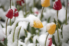 Tulipes sur un parterre en parc couvert de neige tombée dans Image stock