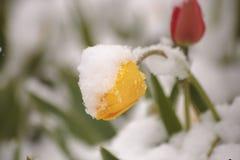 Tulipes sur un parterre en parc couvert de neige tombée dans Photos stock