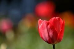 Tulipes sur un pré Images stock