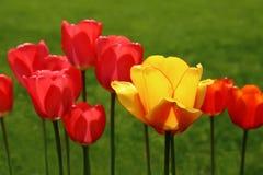 Tulipes sur un pré vert Photos libres de droits