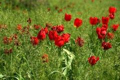 Tulipes sur une pelouse en parc de ville Images libres de droits