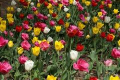 Tulipes sur une pelouse en parc de ville Image libre de droits