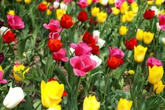 Tulipes sur une pelouse en parc de ville Photo libre de droits