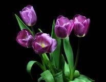 Tulipes, tulipes, rose, lilas, vert, fond, noir, rouge, pourpre, feuilles, ressort Images libres de droits