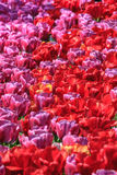 Tulipes, tulipes, tulipes Image libre de droits
