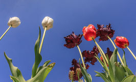 Tulipes, tulipes, tulipes photos libres de droits