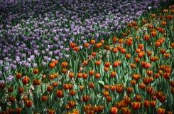 Tulipes ultra-violettes, image de srgb Photographie stock