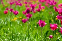Tulipes un après-midi de ressort photographie stock