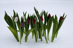 Tulipes un jour ensoleillé Images stock