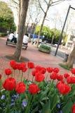 Tulipes urbaines de stationnement Photos libres de droits