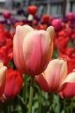 Tulipes vibrantes Images libres de droits
