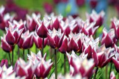 Tulipes violettes Photos stock
