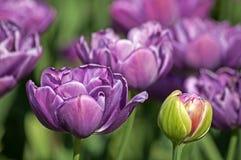 Tulipes violettes Image libre de droits