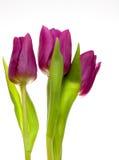 Tulipes violettes de source Image libre de droits