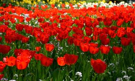 Tulipfield в цветени, красивых красных тюльпанах зацветая в саде Стоковые Изображения