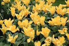 Tulipfield на Keukenhof в Голландии, Нидерланды Стоковые Фотографии RF