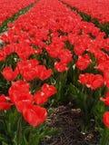 tulipfield hollandais rouge-foncé Photographie stock