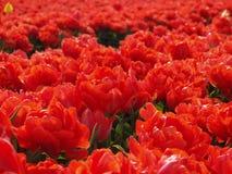 Tulipfield hollandais rouge-foncé 4 Images libres de droits