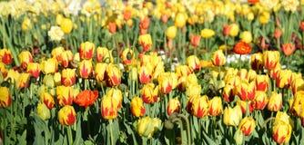 Tulipfield na flor, tulipas amarelo-vermelhas bonitas Foto de Stock Royalty Free