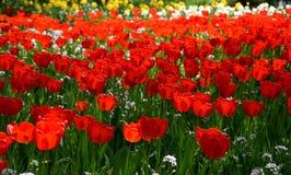 Tulipfield na flor, tulipas vermelhas bonitas que florescem no jardim Imagens de Stock