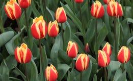 Tulipfield på Keukenhof i Holland, Nederländerna Arkivbild