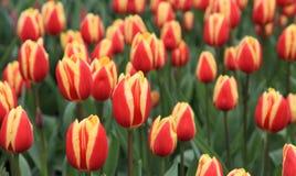Tulipfield på Keukenhof i Holland, Nederländerna Arkivfoto