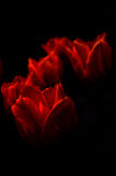 Tulipfire3. Low-key image of fiery orange tulips surrounded by black, space for copy Royalty Free Stock Photos