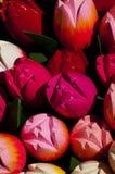Tulipán Imagen de archivo libre de regalías