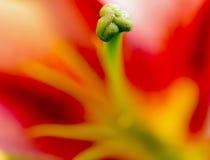 Tulipán Fotos de archivo libres de regalías