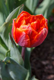 Tulipán anaranjado vertical Foto de archivo