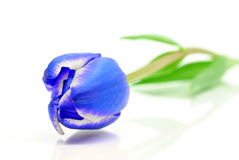 Tulipán azul Imagenes de archivo