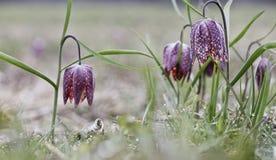 Tulipán de inclinación un springflower del prado Imagenes de archivo