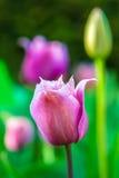 Tulipán de la púrpura de la primavera Foto de archivo