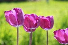 Tulipán floreciente hermoso Fotos de archivo libres de regalías