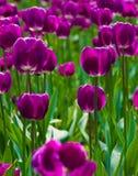 Tulipán púrpura Imagen de archivo libre de regalías