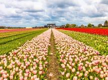 Tulipography Lisse Noordwijk holandie Tulipanowe zdjęcia stock