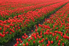 Tulips. Red tulipfields in Holland Stock Image