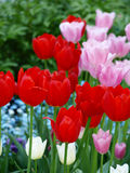 Tulips. Red, pink and white tulips Royalty Free Stock Photo