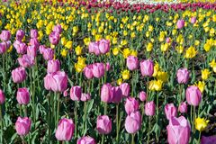 Tulips. Multi-coloured tulips on a bed Stock Image