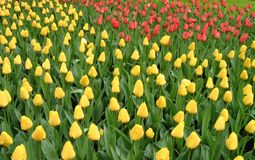 Tulips. Yellow and red tulips Royalty Free Stock Images