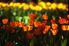Tulips. Tulip flowers are in bloom Royalty Free Stock Photos