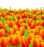 Tulips. Vector illustration, AI file included Stock Photos