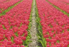 Tulips. Dutch tulips Stock Images