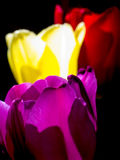 Tulips. Close-up of of Tulips backlit by the sun Stock Photography