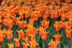 Tulips imagem de stock royalty free
